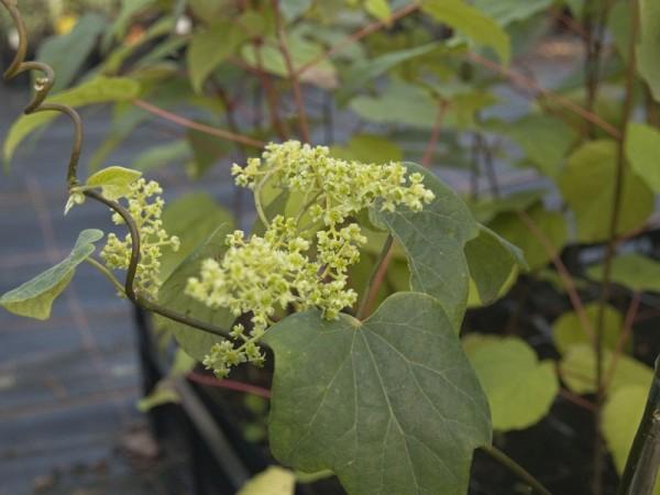 Sinomenium acutum