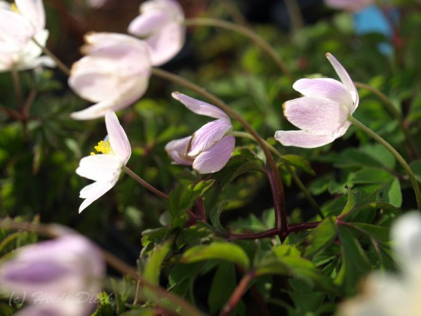 Anemone Rosea