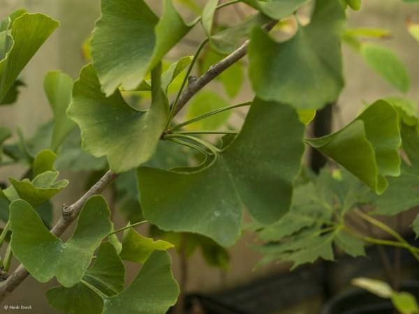 Ginkgo biloba 'Celeia'