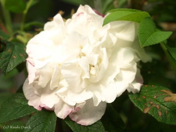 Rosa rugosa 'Louise 'Bugnet'