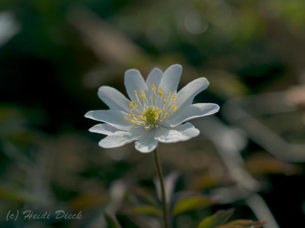 Anemone nemorosa 'Tinney s Plena' (Tinneys Blush)