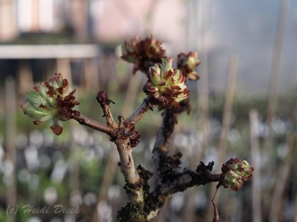 Aesculus hippocastanum 'Monstrosum'