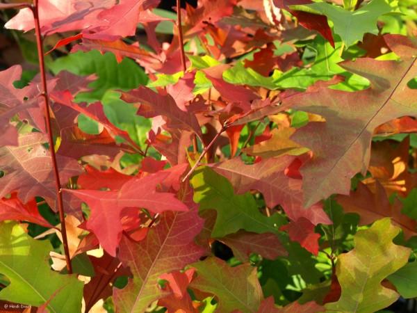 Quercus nutallii