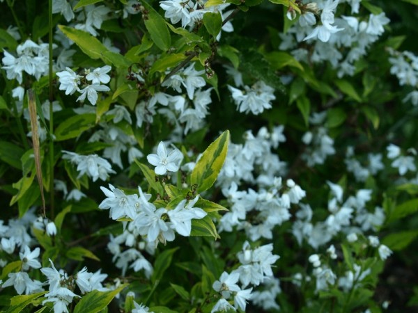 Deutzia gracilis 'Aurea