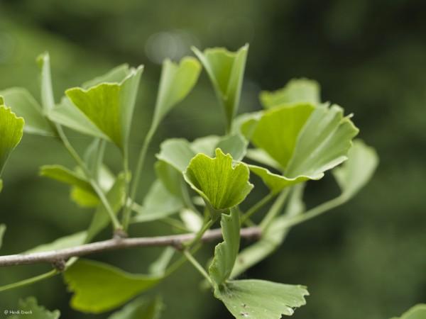 Ginkgo biloba 'Tubifolia'