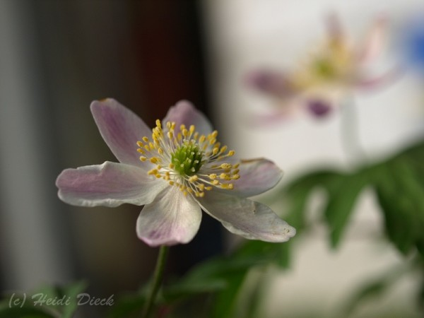 Anemone Cedrics Pink