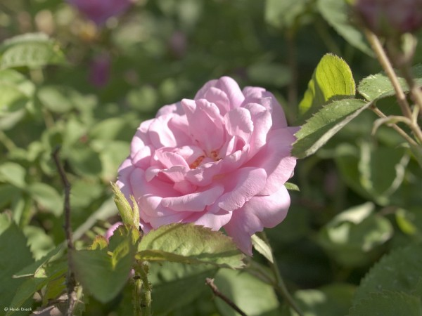 Rosa muscosa centifolia