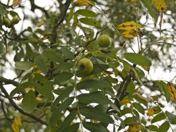 Sorbus domestica f. pomifera