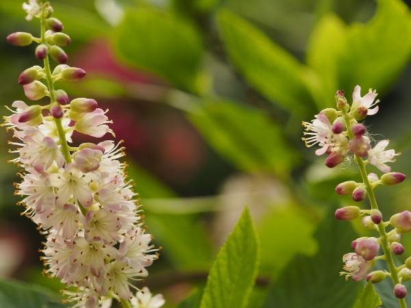 Clethra alnifolia 'Fern Valley Pink'