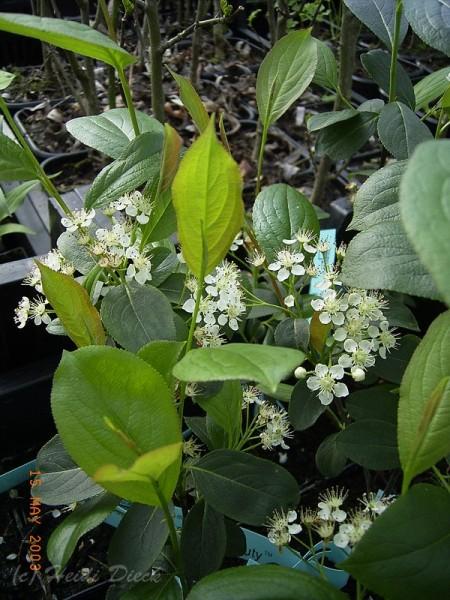 Aronia melanocarpa 'Morton'