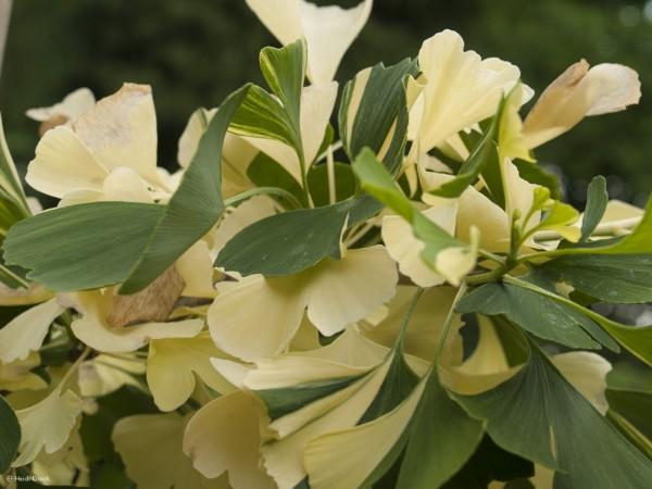 Ginkgo biloba 'Pendula Variegata'
