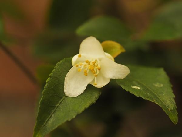 Camellia parvilimba