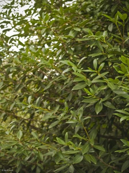 Phillyraea angustifolia