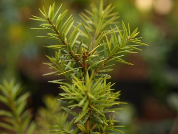 Podocarpus acutifolius 'Golden Lady'