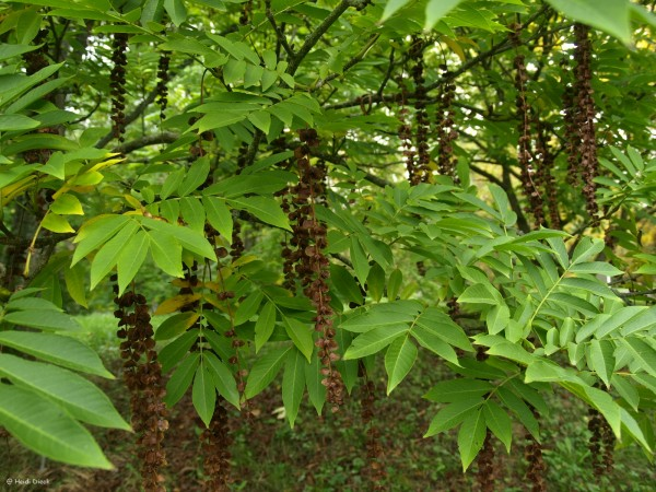 Pterocarya rhoifolia