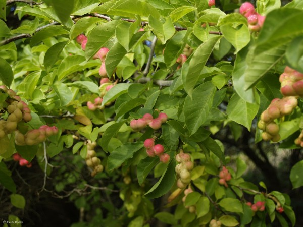 magnolia kobus herrenkamper g rten. Black Bedroom Furniture Sets. Home Design Ideas