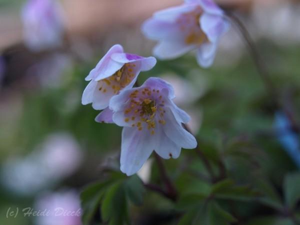Anemone Frühlingsfee