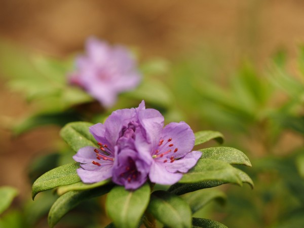 Rhododendron hippophaeoides 'Habba Shan'