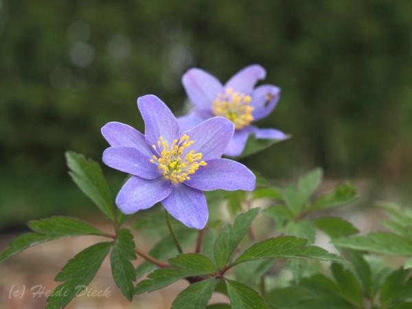 Anemone Royal Blue