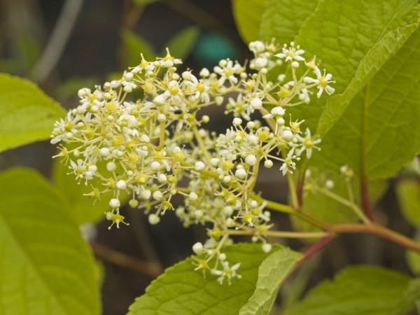 Tripterygium wilfordii (syn. regelii)