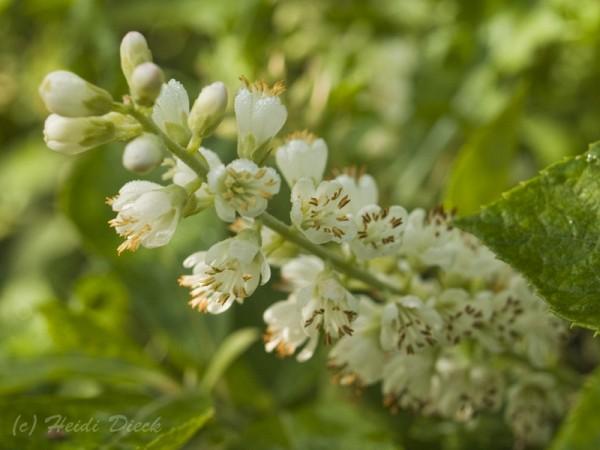 Clethra alnifolia 'Creel´s Calico'