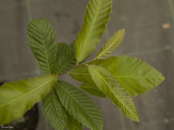 Quercus fabrei