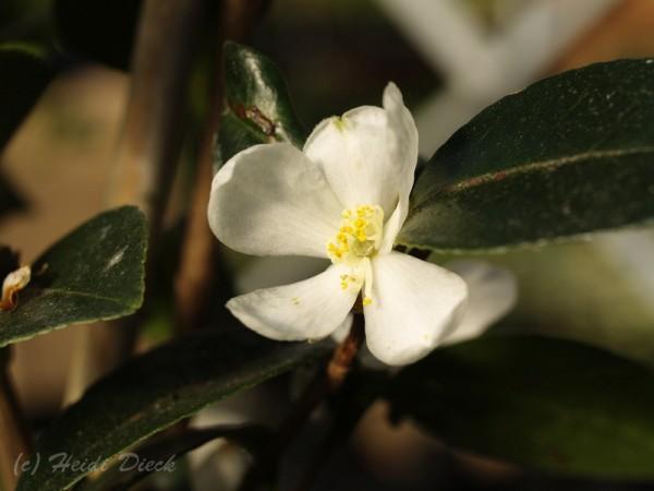 Camellia brevistyla (syn.: C. tenuiflora)