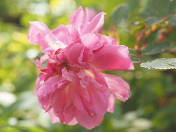 Rosa inermis Morletti
