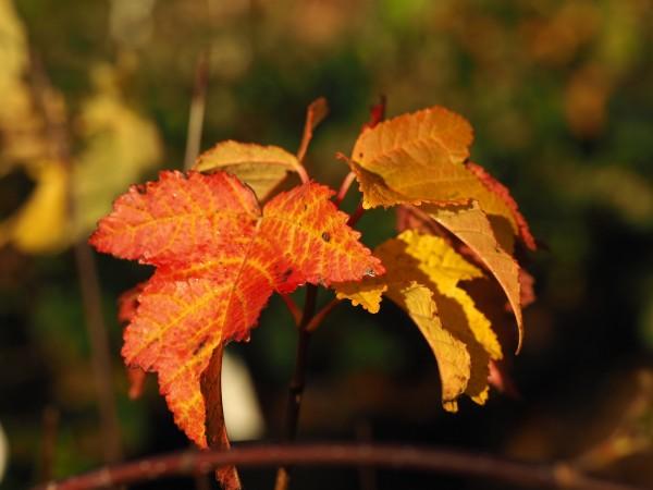 Acer platanoides subsp. turkestanicum