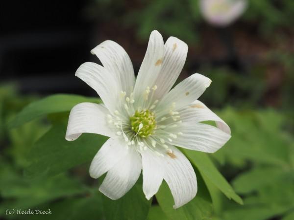 Anemone raddeana roseum