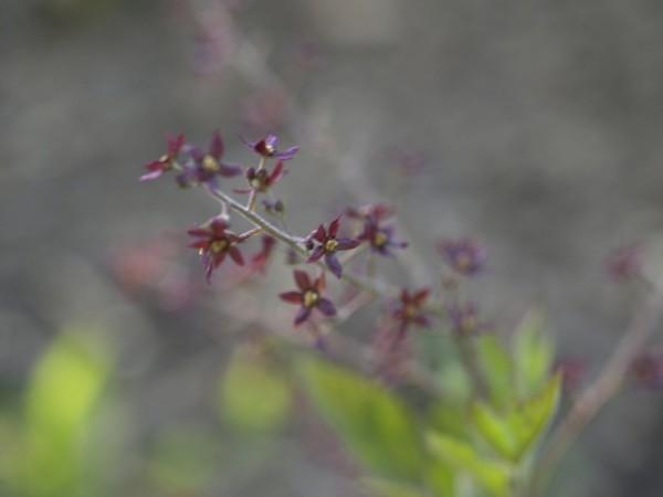 Xanthorhiza simplicissima