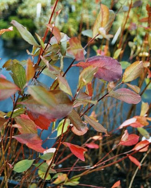 Aronia arbutifolia 'Brillant'
