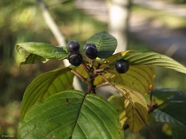 Frangula purshiana (syn. Rhamnus purshianus)