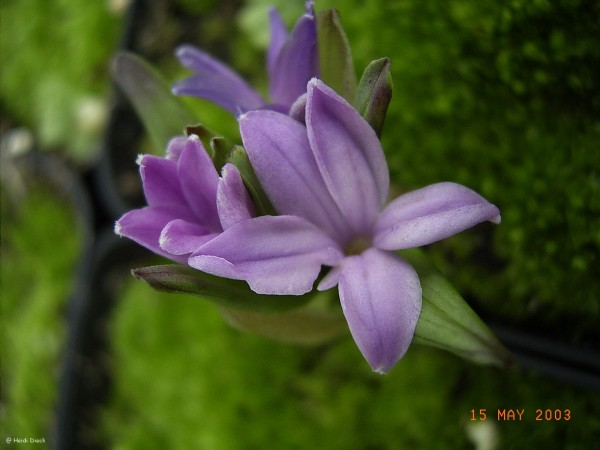 Polygonatum hookeri