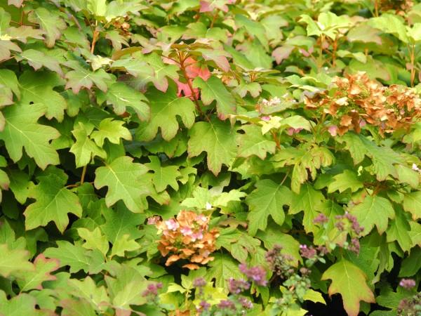 Hydrangea quercifolia ' Burgundy'