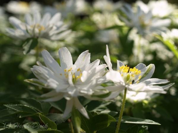 Anemone Bracteata Pleniflora