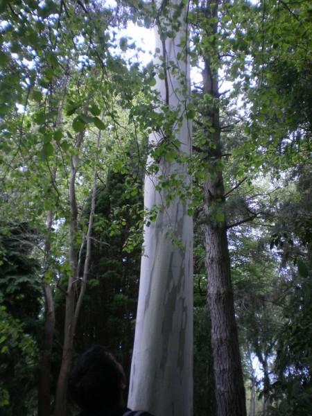 eucalyptus dalrympleyana