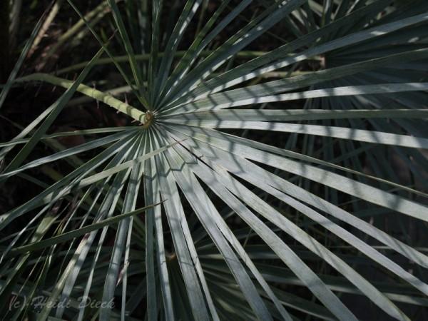 Chamaerops humile var. cerifera