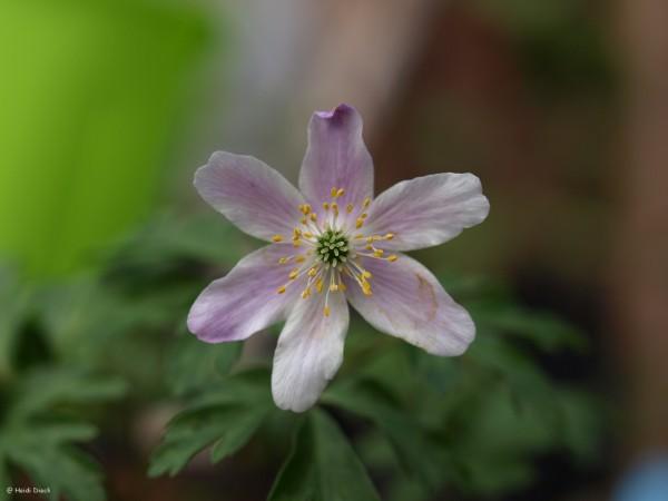 Anemone Alborosea