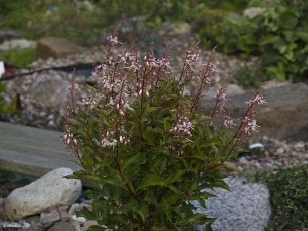 Elliottia paniculata