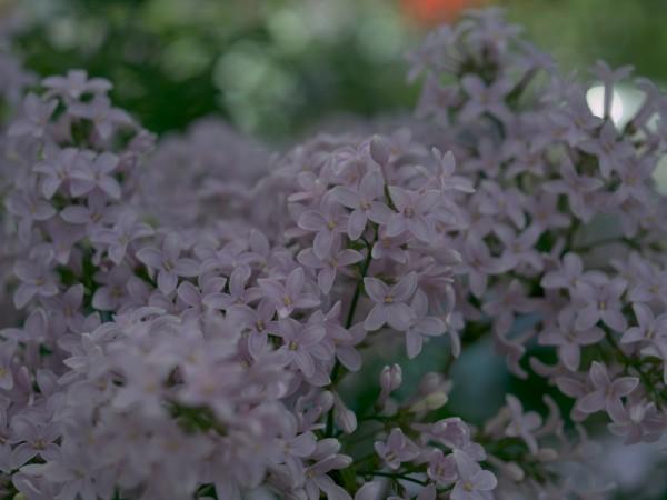 Syringa persica