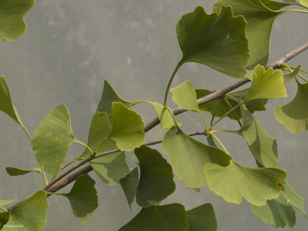 Ginkgo biloba 'Golden Girl'