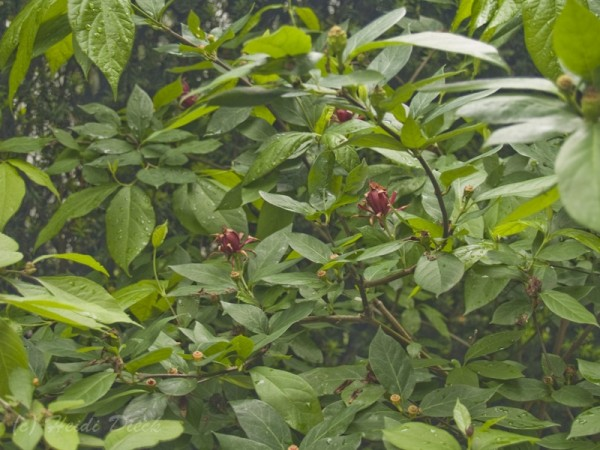 Calycanthus occidentalis