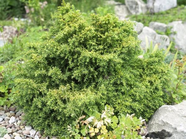 Cryptomeria japonica 'Compacta Nana'