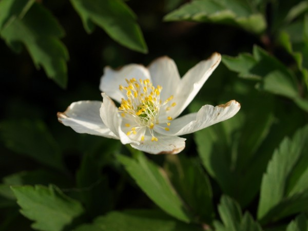 Anemone nemorosa 'Lady Doneraile'