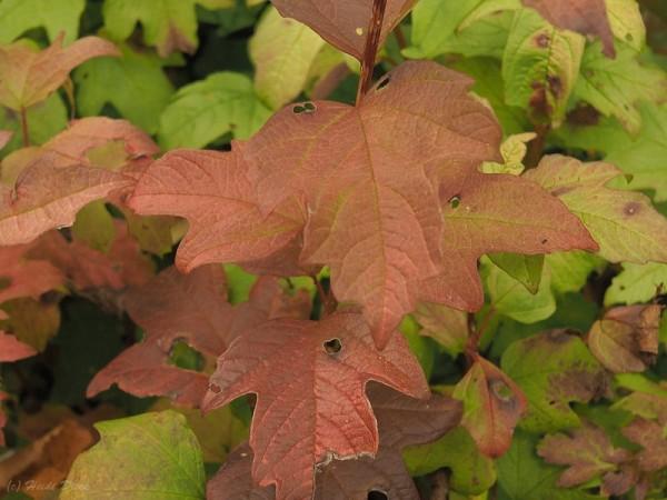 Viburnum opolus 'Apricot'
