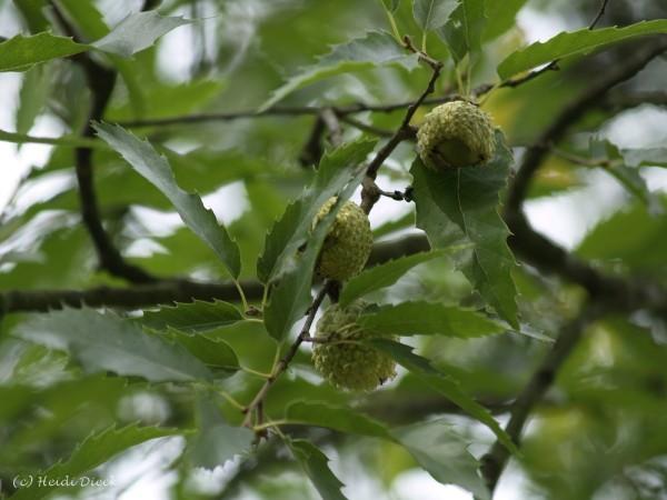 Quercus libani