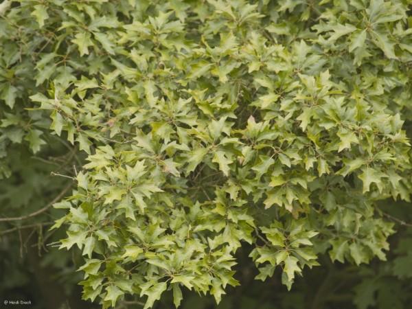Quercus illicifolia