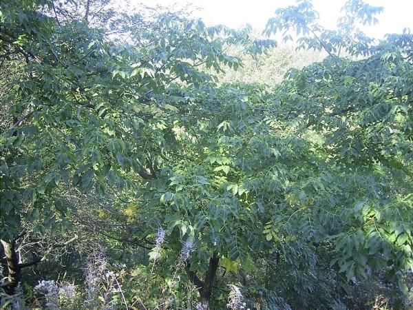 Tetradium daniellii`Hupehense Grp.`(syn.Euodia)