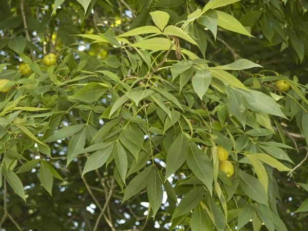 Carya laciniosa